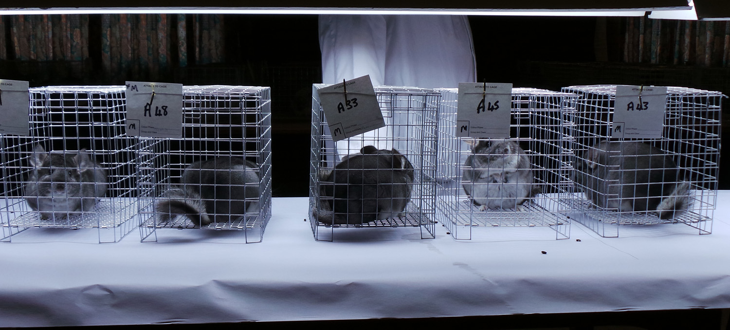 chinchillas waiting to be judged