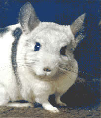 a mosaic chinchilla